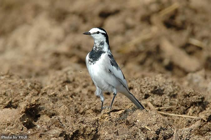 ハクセキレイ Motacilla alba  ハクセキレイは、全長21cm、背面が黒色で腹面が白