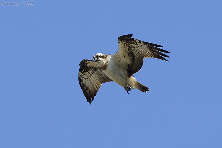 ミサゴ Pandion haliaetus  ミサゴは、背面は黒褐色、腹面と頭が白い猛禽です。雄