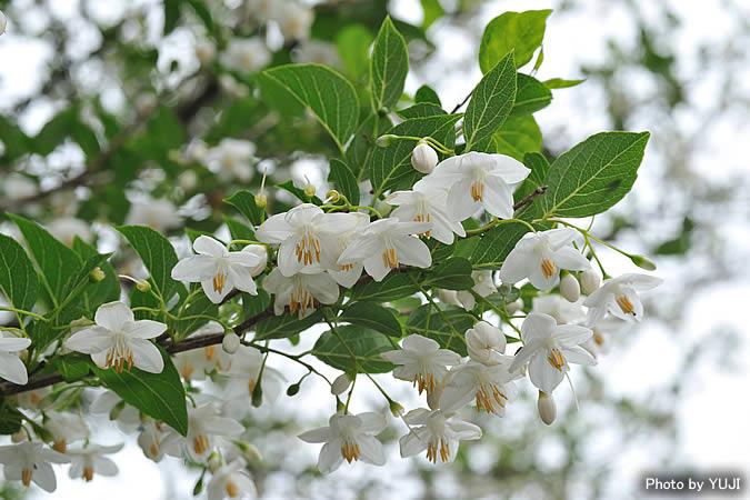 エゴノキ Maesa montana エゴノキ Maesa montana 沖縄の維管束植物 花